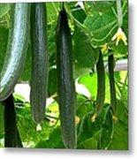 Growing Cucumbers Metal Print