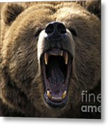 Growling Grizzly Bear Metal Print by Mark Newman