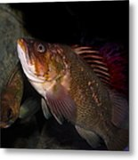 Gruper Fish 5d24129 Metal Print by Wingsdomain Art and Photography