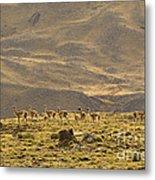 Guanaco Herd, Argentina Metal Print