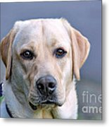 Guide Dog In Training Metal Print