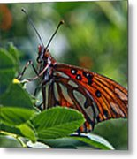 Gulf Fritillary Butterfly Close Up Metal Print