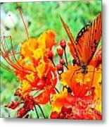 Gulf Fritillary Butterfly On Pride Of Barbados Metal Print
