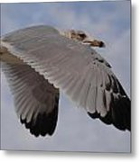 Gull In Flight Metal Print