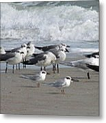 Gulls Terns Skimmers Metal Print