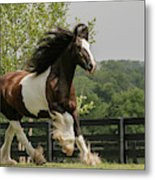 Gypsy Vanner Horse Running, Crestwood Metal Print