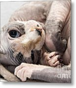 Hairless Cat Metal Print