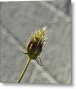 Hairy Plant Seed Pod 1 Metal Print