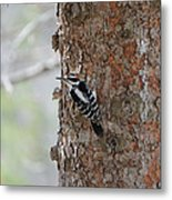 Hairy Woodpecker Metal Print