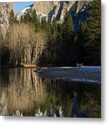 Half Dome And Cottonwoods Reflected In Merced River  Metal Print