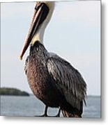 Handsome Brown Pelican Metal Print