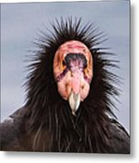 Handsome California Condor Metal Print