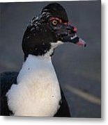 Handsome Muscovy Metal Print