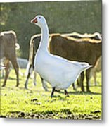 Hanging With The Herd Metal Print