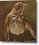 Happy Hermit Thrush Metal Print