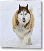 Happy Husky Metal Print