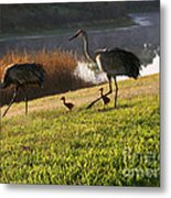 Happy Sandhill Crane Family - Original Metal Print