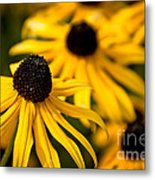 Happy Susans Metal Print