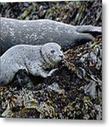 Harbor Seal Pup Resting Metal Print