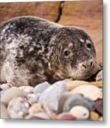 Harbour Seal Close Up Metal Print
