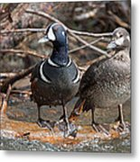 Harlequin Pair Metal Print