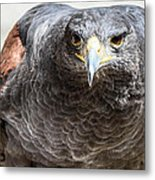 Harris Hawk Ready For Attack Metal Print