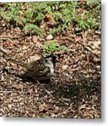 Harris Sparrow Collecting Seeds Metal Print