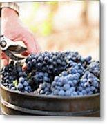 Harvest At Vineyard In Santa Cruz Metal Print