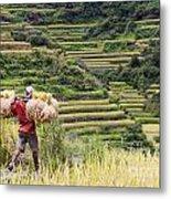 Harvest Season In Rice Field Metal Print