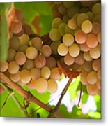 Harvest Time. Sunny Grapes II Metal Print by Jenny Rainbow
