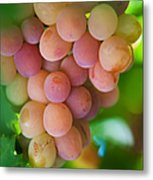 Harvest Time. Sunny Grapes Metal Print