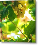 Harvest Time. Sunny Grapes Vii Metal Print