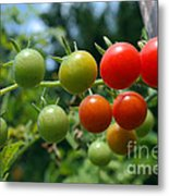 Harvest Tomatoes Metal Print