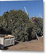 Harvesting California Orange Crops Metal Print
