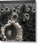Haunting Sunflower Fields 1 Metal Print