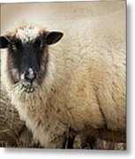 Have You Any Wool? Metal Print