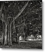 Hawaiian Banyan Tree Root Study Metal Print by Daniel Hagerman