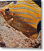 Hawaiian Butterfly Fish Metal Print