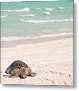 Hawaiian Green Turtle / Chelonia Mydas Metal Print