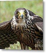 Hawk Eyes Metal Print