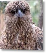Brown Hawk Face Profile Metal Print