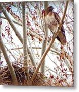 Hawk Nesting IIi Metal Print