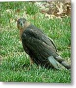 Hawk On The Grass Metal Print