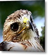 Hawk - Raptor - Living The Good Life Metal Print