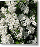 Hawthorn In Bloom Metal Print