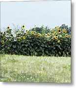 Hay Bales And Sunflowers Metal Print