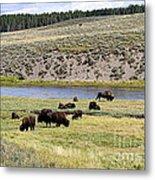 Hayden Valley Bison Herd In Yellowstone National Park Metal Print