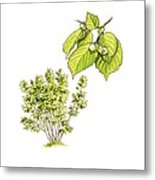 Hazel (corylus Avellana) Tree, Artwork Metal Print