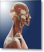Head Anatomy, Artwork Metal Print by Science Photo Library