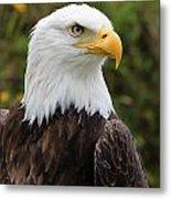Head Of A Male American Bald Eagle Metal Print